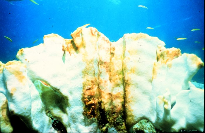 Coral bleaching in the Florida Keys
