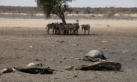 Cattle carcasses near Lagbogal, Kenya in early July 2011