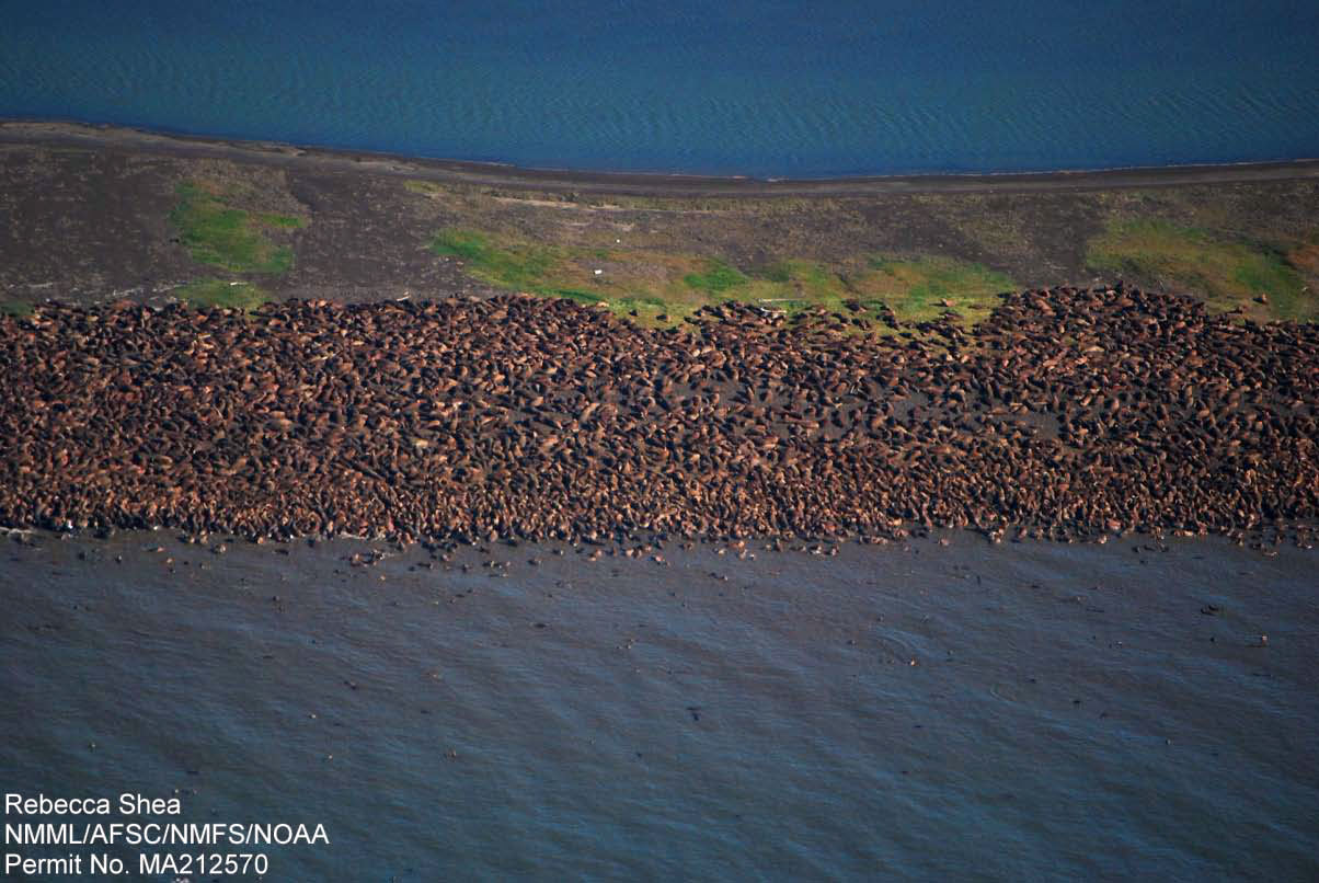 Aerial photo of walruses beached near Point Lay, Alaske in September 2011