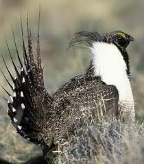 Greater Sage-Grouse in North America